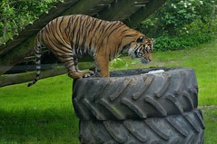 Sumatra Tiger Imdah im Howletts Wild Animal Park