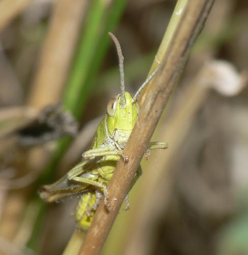 Meadow Grasshopper (Chorthippus parallelus), m.