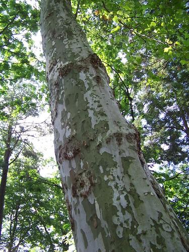 longwoodlondonplanetree2