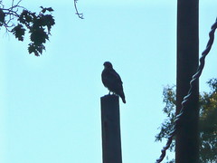 Neighborhood redtail