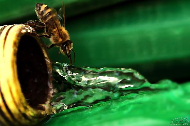 Thirsty Bee (Explored)
