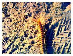 centipede (six)