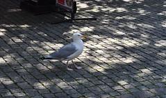 Varberg seagull