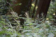 三保市民の森のヤブマオ
