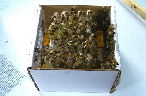 Box of Zia queens