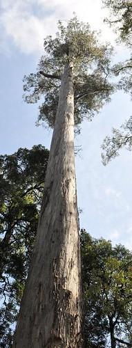 Eucalyptus viminalis (White Knight)