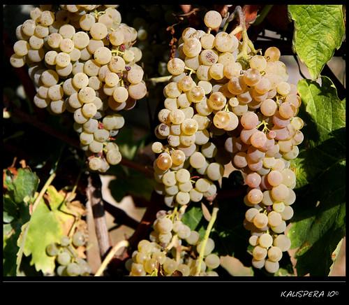La vendemmia 2010: l'uva...