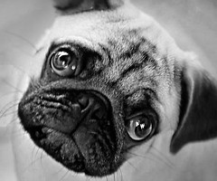 Pug Blackmail