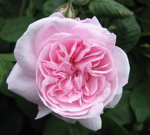 Rosa 'Grandmother's Hat'