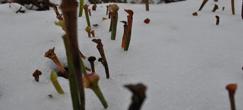 Sarracenia seedlings poking through the snow