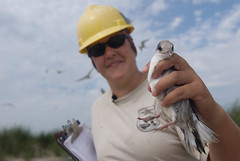 Service employee holding a tern at Monomoy Nat...