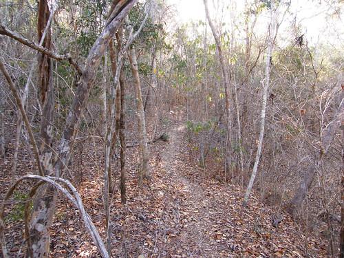 Aspecto del bosque secundario en Kirindy, en recuperación