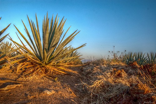 Maguey Agave Azul, Tequila Jalisco Mexico