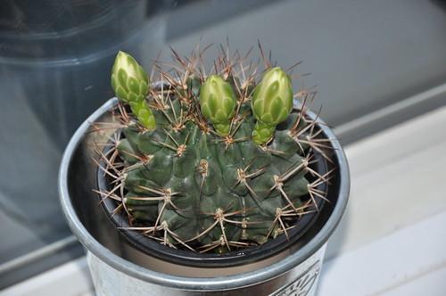 Hector der Kaktus