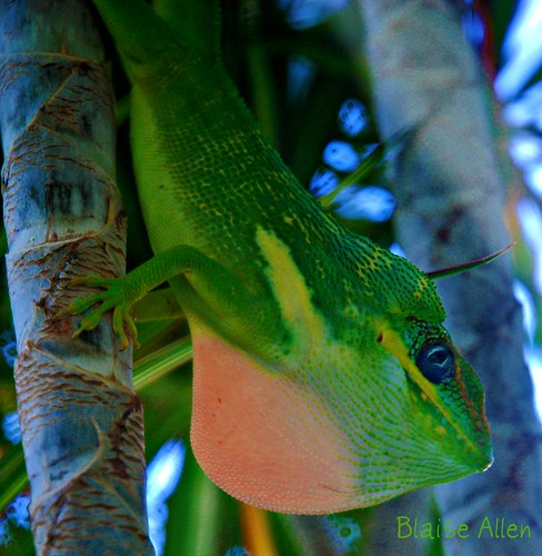 Anolis Equestris Displaying Dewlap