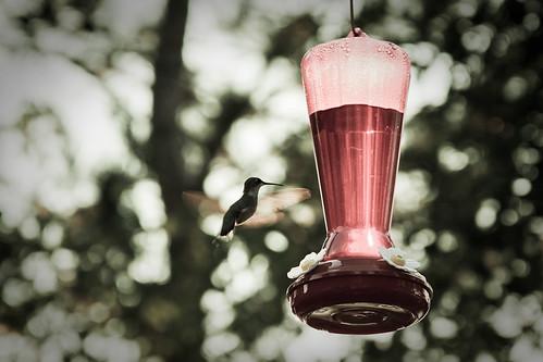 {213/365} hummingbird