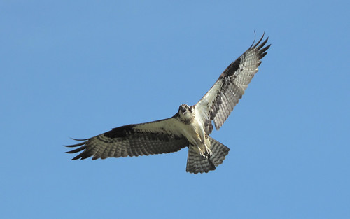 Osprey spotted over the Chesapeake Bay