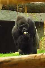 353 - 2017 07 01 - Gorilla (Matadi)