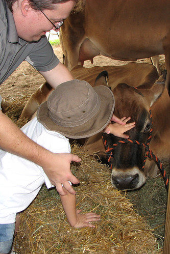 Petting a cow