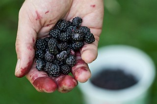 Picking Wild Black Raspberries