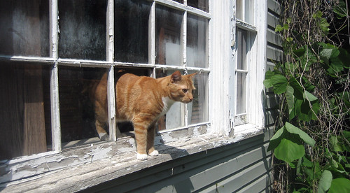 20100619 - cats broke our window to escape - IMG_0990 - Lemonjello - contemplating outside