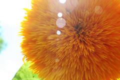 Baby Sun Flower