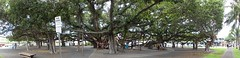 Banyon Tree on Front Street in Maui