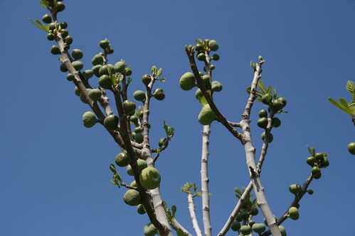 Ephesus - fig tree