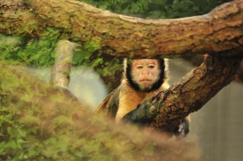 Gelbbrust-Kapuziner im Kölner Zoo