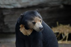 Malaienbärin Bali im Kölner Zoo