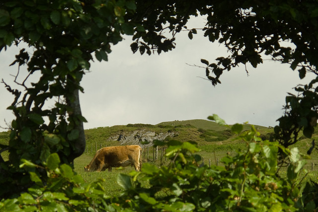 A cow through a hedge