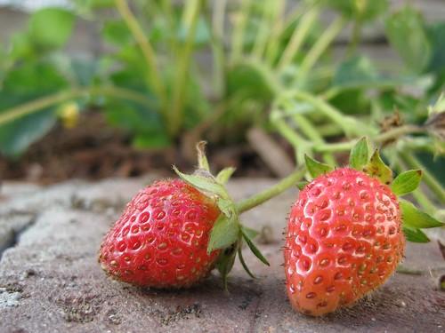 First Few Tiny Strawberries