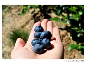 emma lea farms, bc - blueberry picking