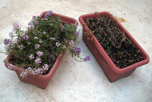 Panalillos, vivos vs. secos y retoños