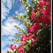 Bounganville - primavera