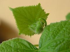 Komkommerplant 4 weken / cucumber 4 weeks