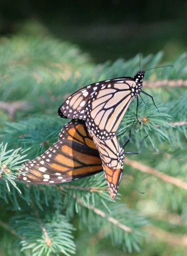 monarchs mating