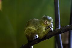 Talapoin Monkey