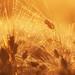 Golden Barley Spikelet von Joni N