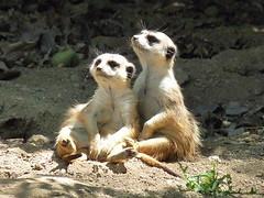 Sunning meerkats
