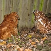 Chicken's run.