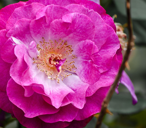 Pink n' Rose