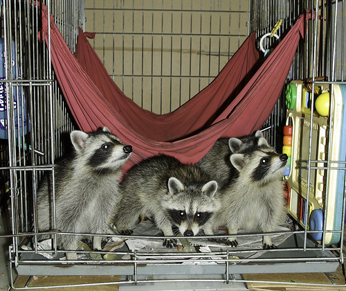 adolescent raccoons, group 1
