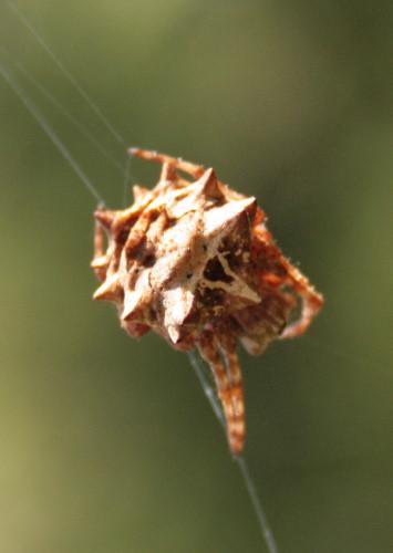 Acanthepeira sp., poss Acanthepeira stellata, Starbellied Orbweaver