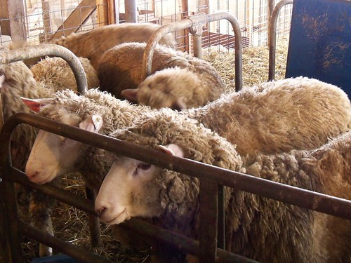 fuzzy sheepies