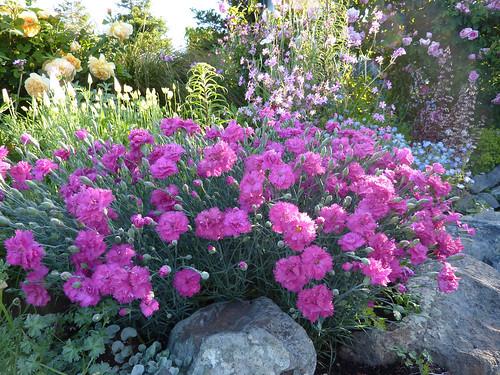 More Dianthus love