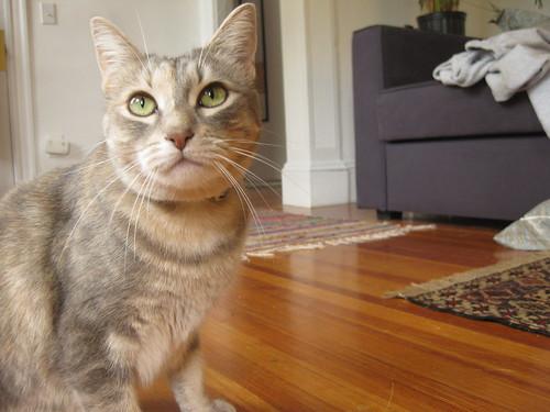 portrait of Edith the gray cat