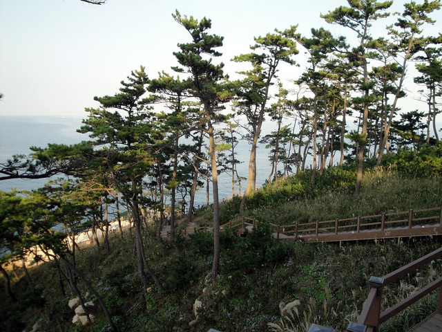 A forest of pine trees overlooks the ocean...