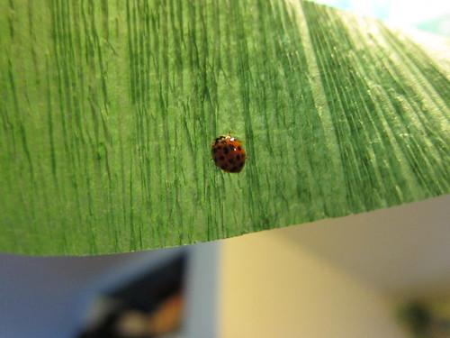 Intrepid Ladybug
