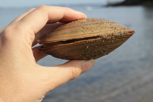 big live clam